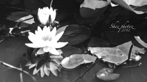 Black and white photo of waterlillies.